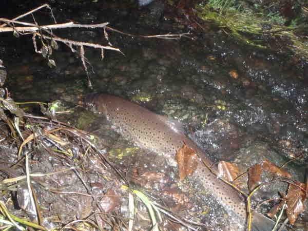 Billed, 3½-4 kg fisk hviler sig i strømmen