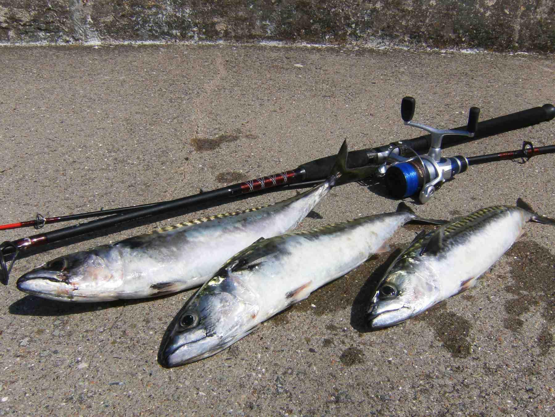 Det tegner til at blive et rigtig godt makrelår, og de første Odden-makreller er fanget for længst.